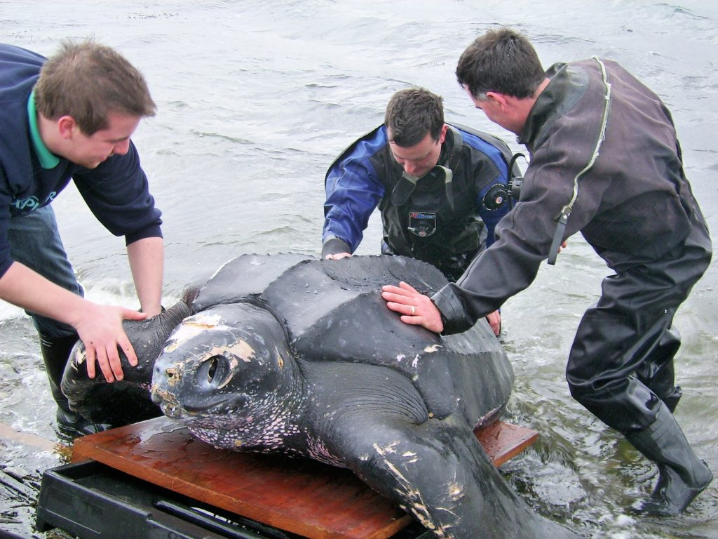 A dead leatherback turtle that washed ashore at Portaferry in 2008, which was found to have a plastic bag and length of fishing line in its stomach. Credit: DAERA Marine & Fisheries